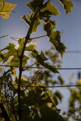 N° 0855-2015_lever de soleil dans les vignes